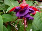 Fuschia à fleurs doubles par Jacqueline DUBOIS sur L'Internaute