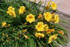 Hemerocallis 'stella d'oro' - Felix USCLADE