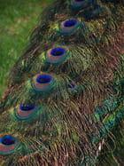 Les plumes du paon par Joelle MILLET sur L'Internaute