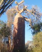 Baobab cafetière - Dilann Tours Madagascar