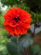 Dahlia à coeur noir - Malou TROEL