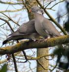 Pigeons ramiers - Didier MARZIN
