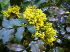 Mahonia aquifolium - Jacqueline DUBOIS