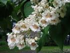 Fleurs de catalpa - Viau Claude