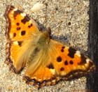 Le papillon au repos - Gerard BEAUVAIS