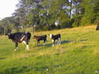Veaux et vaches - Véronique BARBILLON