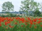 Le champs de coquelicots par Patrice PLANTUREUX sur L'Internaute