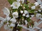 Fleurs de cerisier - Danielle TRON