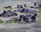 Baignade matinale des hippopotames - Claude BALLY