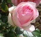 Rose 2 - Claude Bontemps