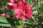 Laurier rose par laëtitia Bournhonesque sur L'Internaute