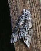 Papillon de nuit par Francine ANCEL sur L'Internaute