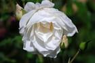 Rose blanche - André Lavoie