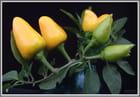 Petits piments jaunes - Floréal IBANEZ