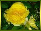 Bégonia jaune par Jacqueline DUBOIS sur L'Internaute