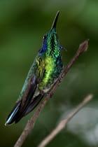 Oiseau mouche - Christophe Massué