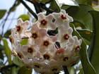 Fleur de Hoya - Serge NICOLLE