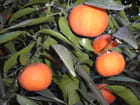 Mandarines
