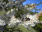 Cerisier en fleurs par Bernadette VIALA sur L'Internaute