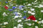 Fleurs des champs par Liliane Rousseau sur L'Internaute