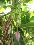 Régime de banane et sa fleur par Arsène Loubiat sur L'Internaute