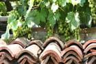 Jolies grappes petites grappes - Abdallah LAKMECHE