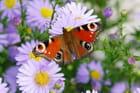 Papillon aux asters - Robert PICAVET