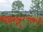 Le champs de coquelicots - Patrice PLANTUREUX