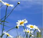 Marguerites sur ciel d'azur par Laurence Chabalier sur L'Internaute