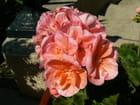Fleurs de Mai - Herve Merzet