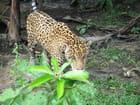 Jaguar - Christelle ARNOUX