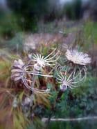 Pavots squelette au jardin - Malou TROEL