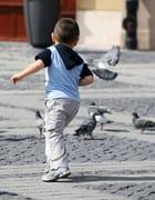 Pigeon vole - Alain Lapierre
