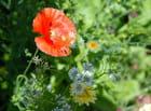 Coquelicots et fleurs blanches - Francine ANCEL