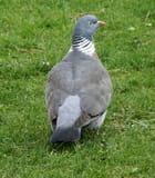 Pigeon ramier par Annie Van Gijseghem sur L'Internaute