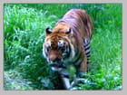 Le tigre de Lyon - pierre odier