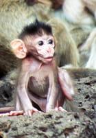 Petit singe - Laetitia GOUPILLON