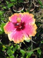 Hibiscus rose au coeur bordeaux - Marijo PETITJEAN