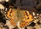 papillon au repos - Jean charles TIRINNANZI