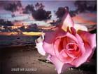 Rose pâle - marguet citon