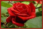 Rose rouge après la pluie - odette lefebvre