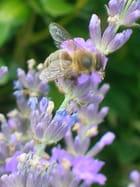 abeille sur la lavande par marianne chaufournier sur L'Internaute