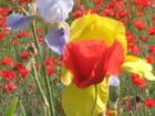 Coquelicots et iris - sylvie PASCUAL
