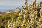 Floraison dans le désert des Agriates - CHARLES LUCCHINI