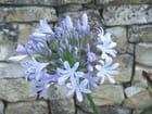 fleurs bleues - Patrice PLANTUREUX