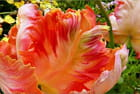 Tulipes au jardin - Serge AGOMBART