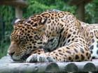Jaguar - Franck BOUVIER