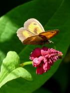 Fleur de polygonum et son amaryllis - Malou TROEL