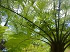 Fougère  arborescente - Christiane BOURAU GLISIA