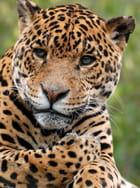 Jaguar par christelle milesi sur L'Internaute